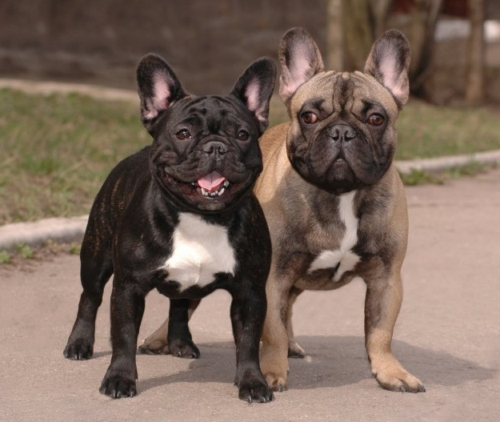 Difference Between Mix Breed And Purebred Dog