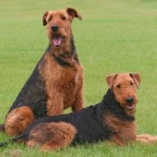 Airedale Terrier sitzend und liegend