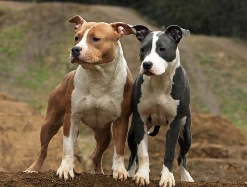 Two Youngs American Staffordshire Bull Terrier