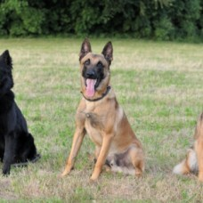 Belgischer Schäferhund