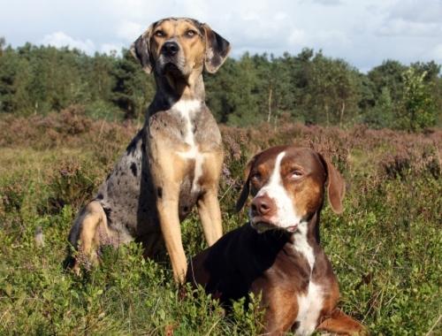 Erweiterung Unserer Rassenliste Mit Neuer Hunderasse