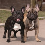 Franch bulldogs