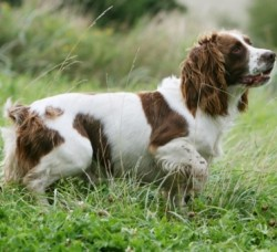 pose immobile et statique de l'english springer spaniel