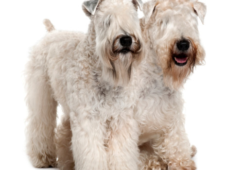 Irish Soft Coated Wheaten…