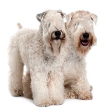 Irish Soft Coated Wheton Terrier