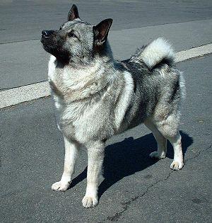 Norwegischer Elchhund