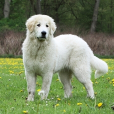 beautiful pyrenean mountain dog - patou debout