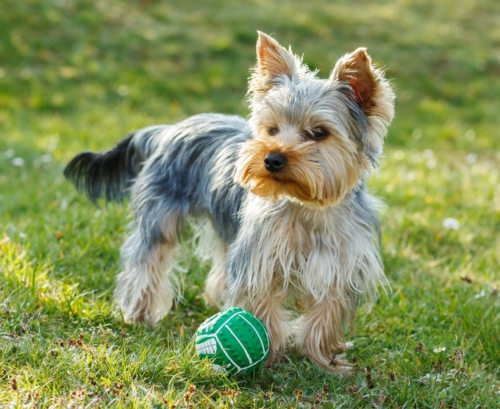 Yorkshire terrier canivaris der hunde dna test für