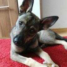 Duke1-canivaris Hunde DNA Test