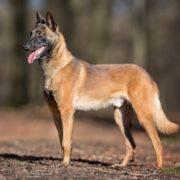 Belgischer Schäferhund-Malinois