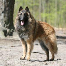 Belgischer Schäferhund-Tervueren