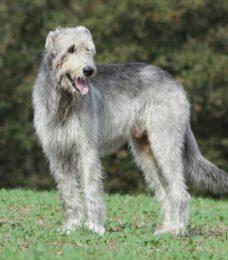 Irischer Wolfshund-canivaris