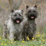 Cairn-Terrier-canivaris