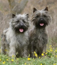 Cairn-Terrier-canivaris