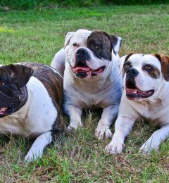 American-Bulldog-canivaris