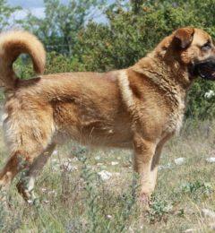 Anatolischer Hirtenhund-canivaris