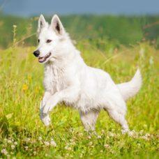 Weisser Schweizer Schäferhund