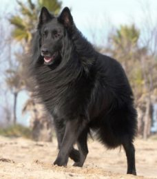 Belgischer Schäferhund-Groenendael-CaniVaris
