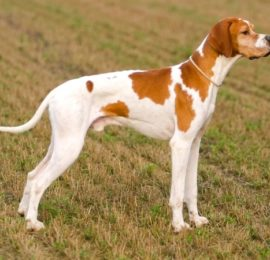 English Pointer-Canivaris