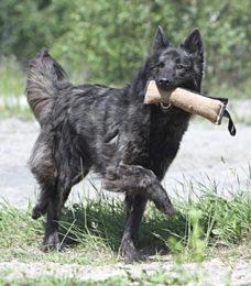 Holländischer Schäferhund-Hollandse Herdershond