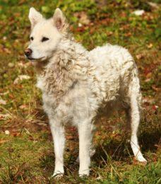 Mudi- CaniVaris-Ungarischer Hirtenhund