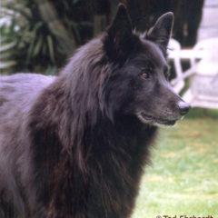 Puppy-Mischling Wolf und Groenendael