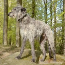 Scottisch Deerhound