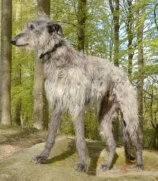 Scottisch Deerhound-canivaris