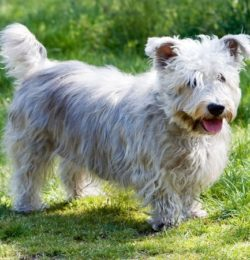 Irish Glen of imal Terrier-canivaris