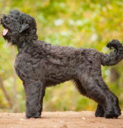 Schwarzer Russischer Terrier canivaris Selekt