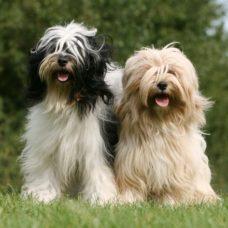 Tibet Terrier – Tibetanischer Terrier