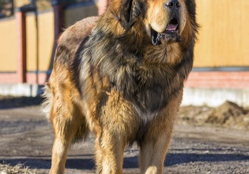 Tibetanischer Mastiff – Do Khyi