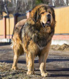 Tibetan Mastiff - Do Khyi