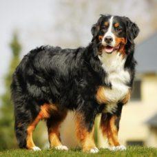 Schweizer Sennenhund-Berner