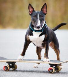 Bull Terrier Miniature canivaris Selekt