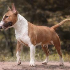 Bull Terrier – Standard