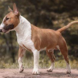 Bull Terrier Basic und Selekt
