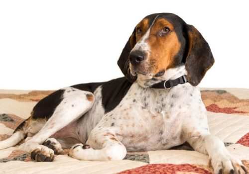 Coonhound – Treeing Walker