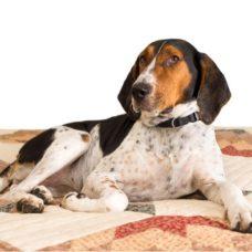 Coonhound – Treeing Walker
