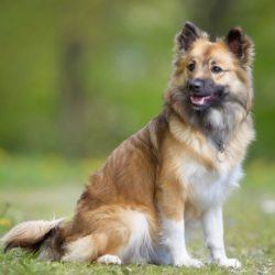 Island Schäferhund - Íslenski fjárhundurinn canivaris Selekt