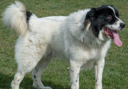 Bulgari. Schäferhund-Karakatschan