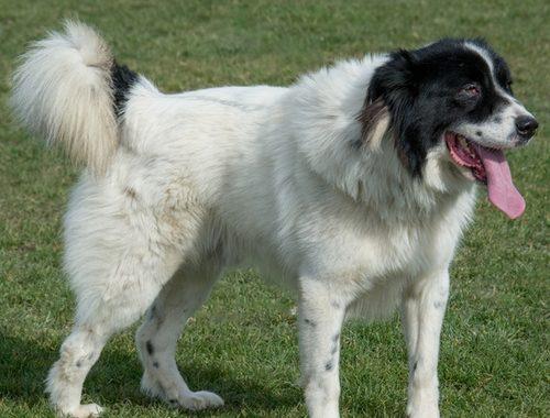 Bulgarischer Schäferhund-Karakatschan
