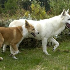 Kanaan Hund – Kelef K'naani