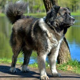 Kaukasischer Schäferhund (Kavakazskaia Ovtcharka)