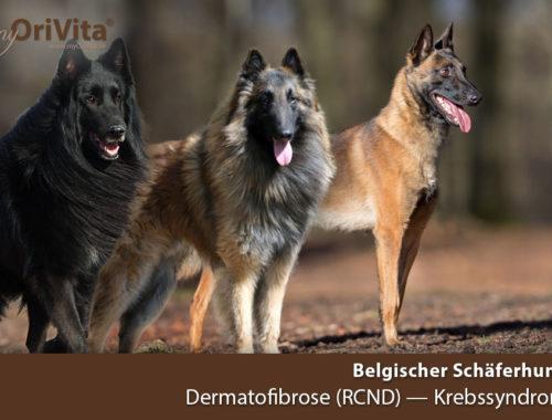 Schaeferhund Belgisch Dermatofibrose
