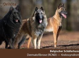 schaeferhund-belgisch-dermatofibrose