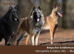 schaeferhund-belgisch-haemophilie