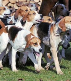 Foxhound-English canivaris