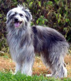 Pyrenäenschäferhund-Berger des Pyrénées