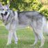 Saarloos Wolfhund Jetzt Im Rassenportfolio